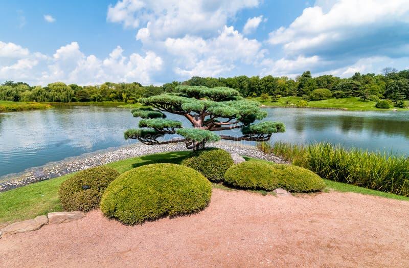 盆景树在芝加哥植物园日本庭院里  库存图片