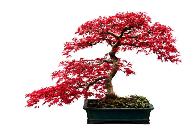 盆景红色结构树 免版税图库摄影