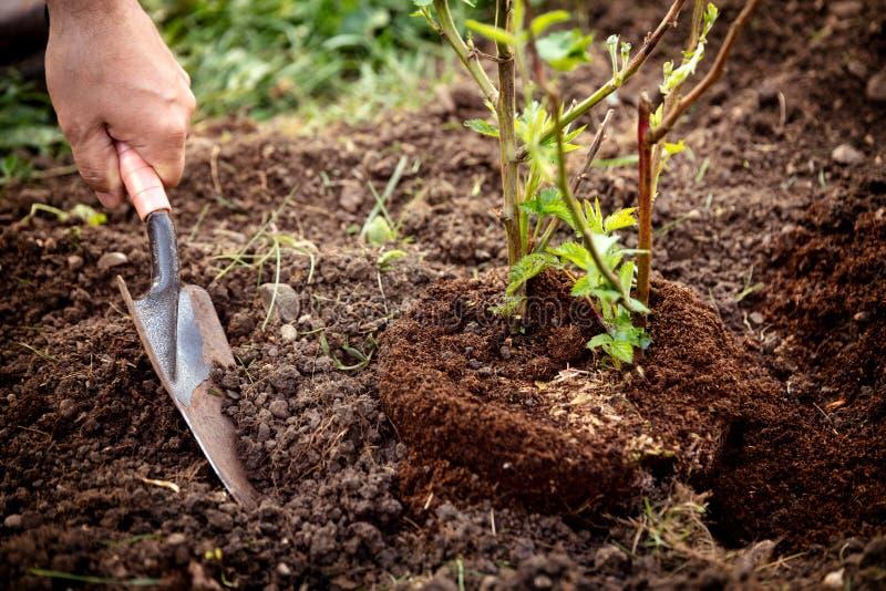 盆栽植物种植入庭院、人有铁锹的和土壤,黑莓灌木 免版税库存图片