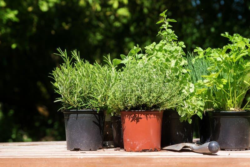 盆的厨房草本例如迷迭香、麝香草、荷兰芹和香葱 库存照片