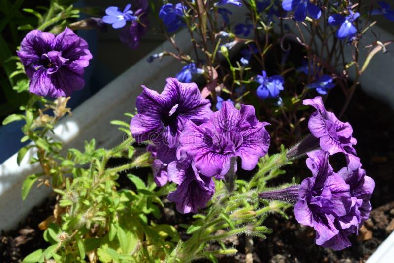 盆的喇叭花许多紫罗兰色花  与开花的植物的家庭绿化 免版税库存图片