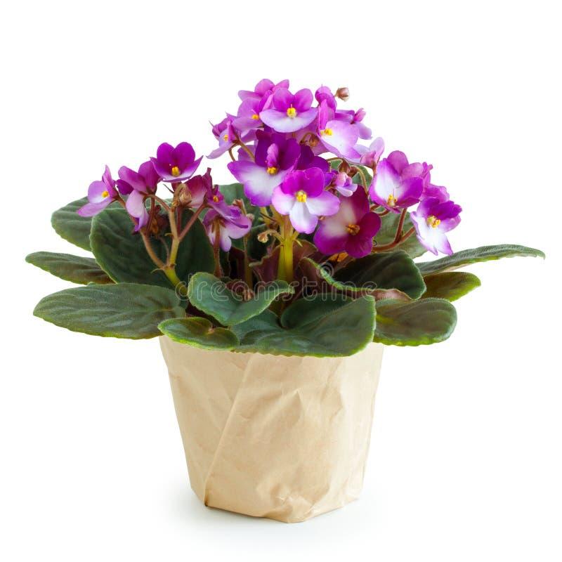 盆的在白色的非洲堇紫罗兰色花 免版税库存图片