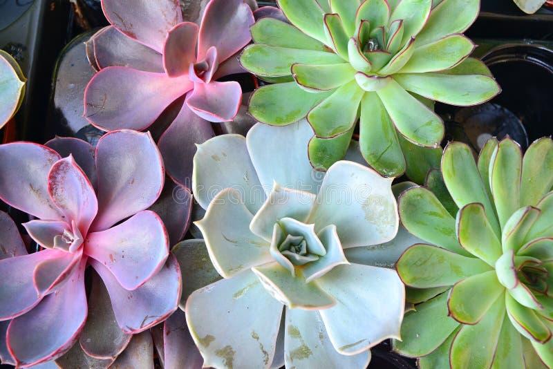 盆的多汁或肥胖植物,五颜六色的echeveria混合 库存照片