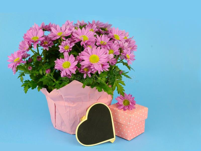 盆的妈咪,菊花morifolium,包裹在蓝色背景的桃红色纸 免版税库存照片