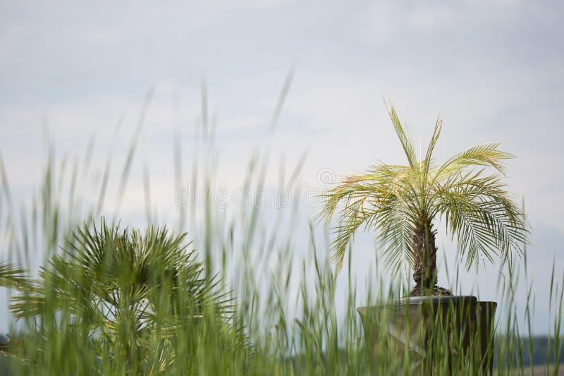 盆的扇形棕榈树 库存照片
