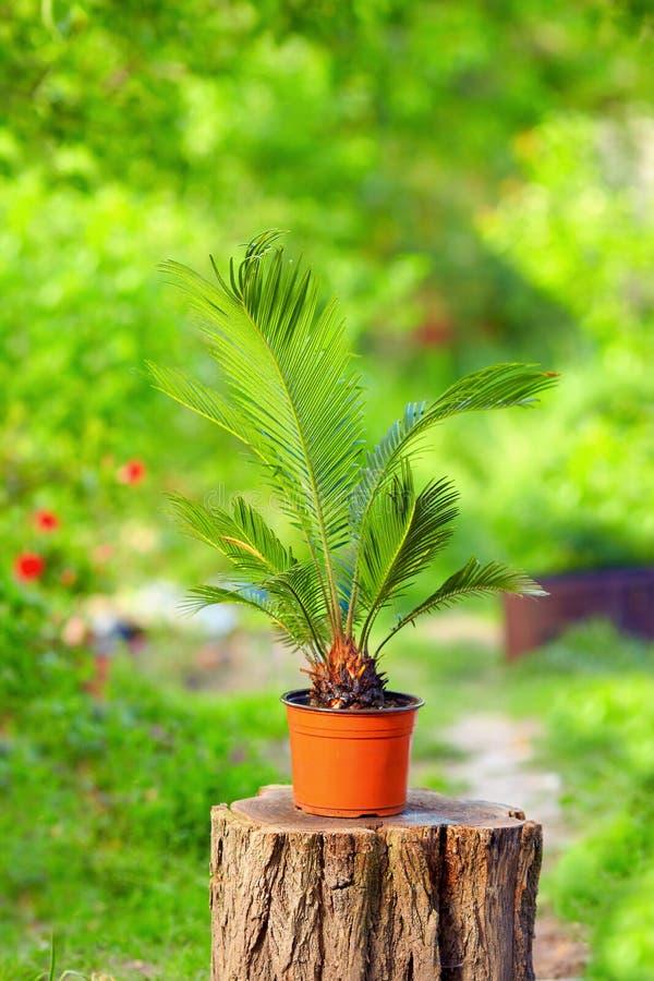 盆的苏铁属棕榈植物在五颜六色的庭院里 免版税库存照片