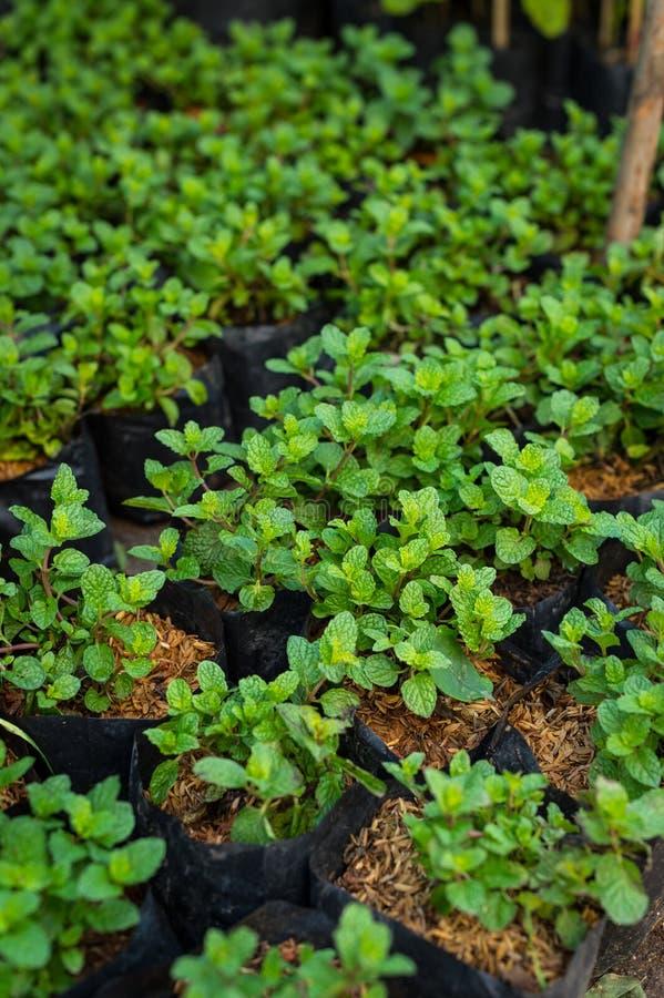 盆的薄荷植物 免版税库存图片