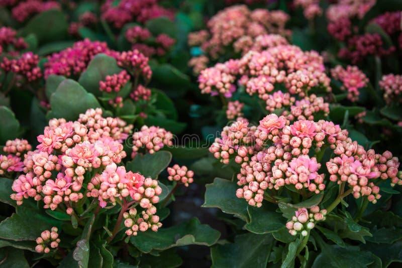 盆的装饰多汁Kalanchoe blossfeldiana用不同的颜色 免版税图库摄影