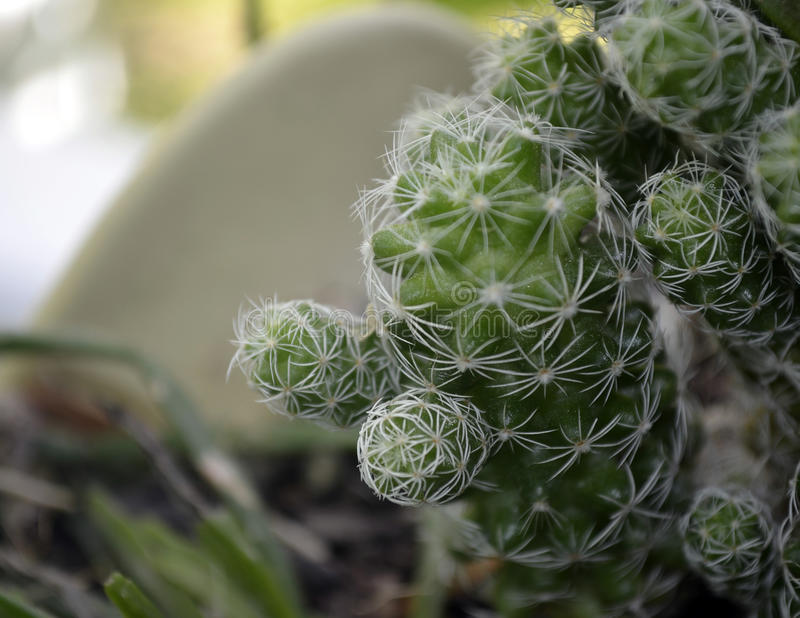 盆的仙人掌植物 免版税库存图片