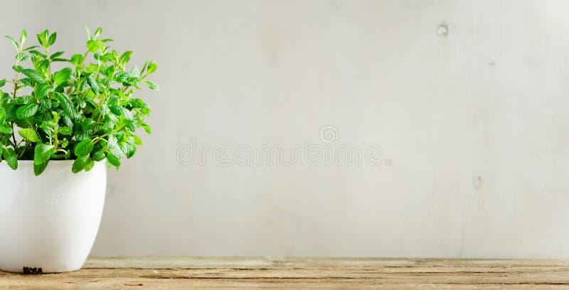 盆蓬蒿的工厂 钞票 素食主义者,干净吃和成长概念 在白色花盆的新鲜的绿色蓬蒿草本在木 免版税库存照片
