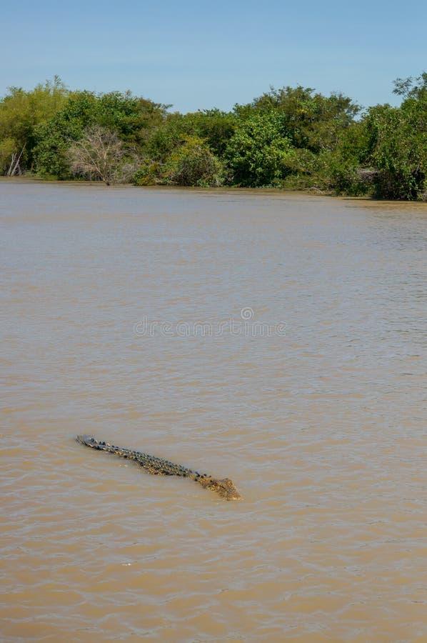 盐水鳄鱼在卡卡杜国家公园在Australia& x27;s北方领土 免版税库存图片