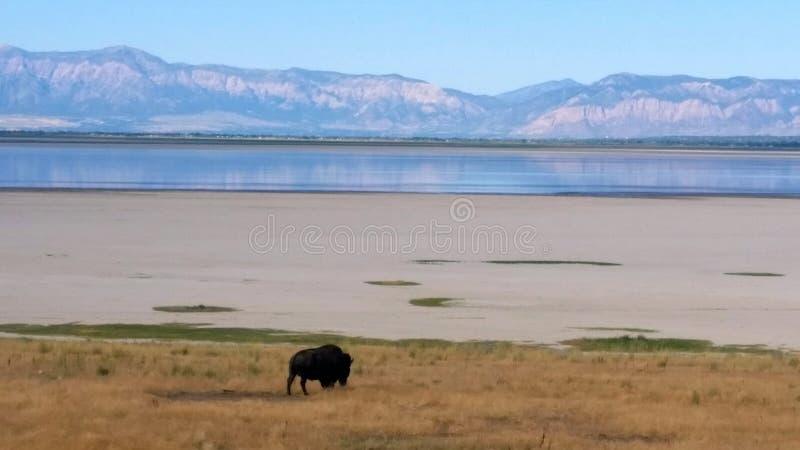 盐湖北美野牛 库存照片