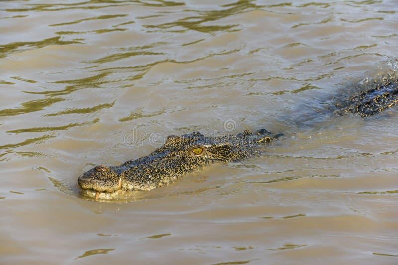 盐水鳄鱼在阿德莱德河,卡卡杜国家公园,达尔文,澳大利亚 免版税库存照片