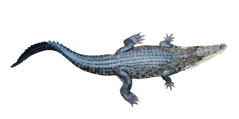 盐水鳄鱼顶视图  免版税库存照片