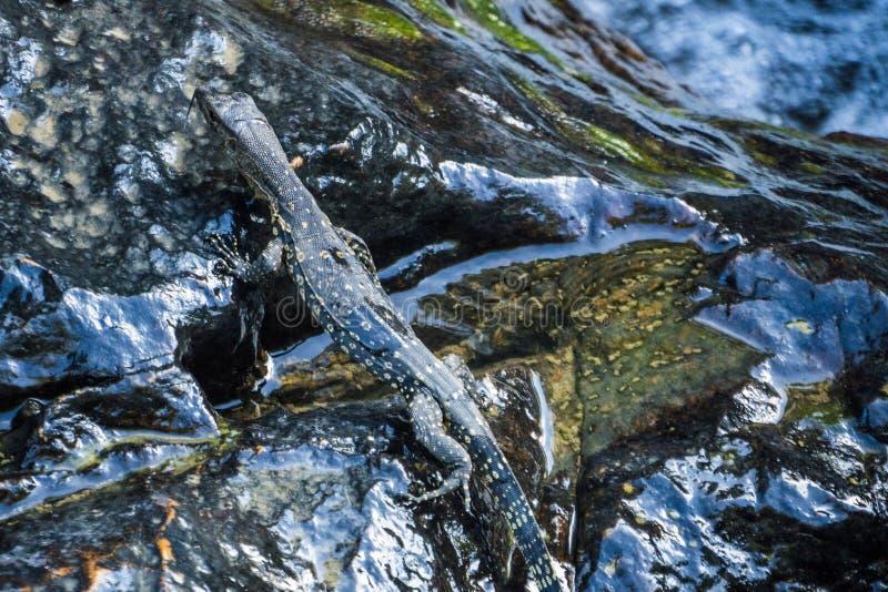 监控蜥蜴一点Cub在石头的在小河附近 免版税库存照片