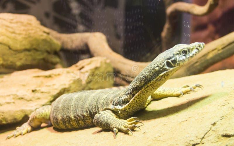 监控蜥蜴在悉尼动物园里 免版税库存照片