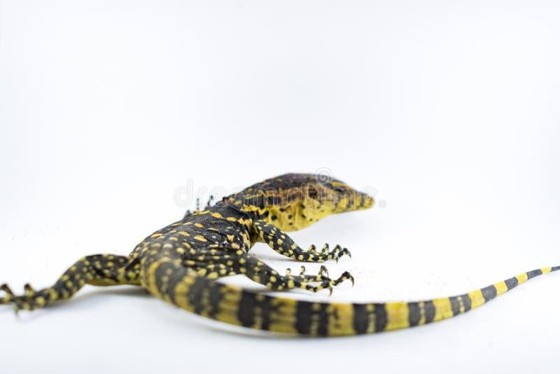 监控蜥蜴在白色背景的巨晰属salvator 免版税库存照片