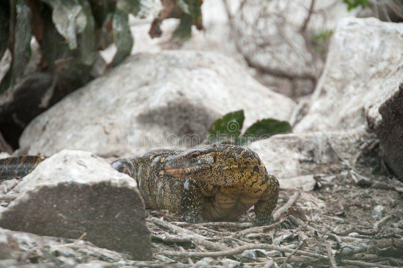 监控蜥蜴尼罗河的乌干达来源 库存照片