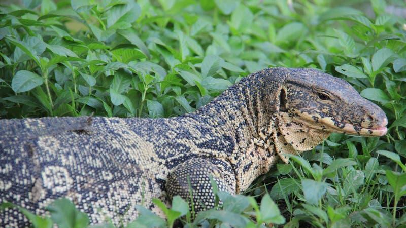 监控蜥蜴歇息和晒日光浴 免版税库存图片