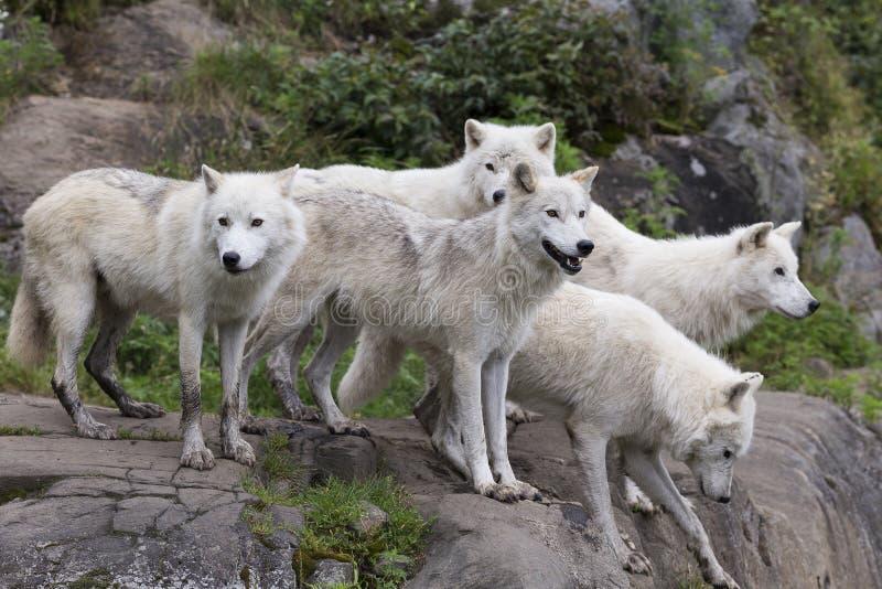 盒五头成人北极狼站立 免版税图库摄影