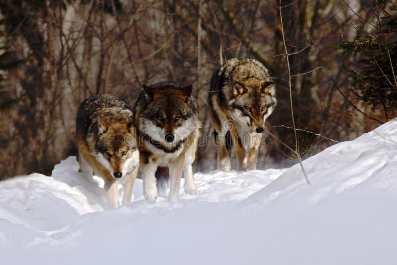 盒狼天狼犬座在冬天,吞下在雪的赛跑,与狼的有吸引力的冬天场面,美好的冬天风景 免版税库存照片