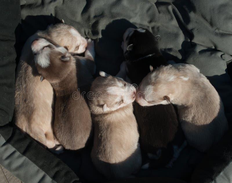 盒逗人喜爱的新出生的多壳的狗 免版税库存图片