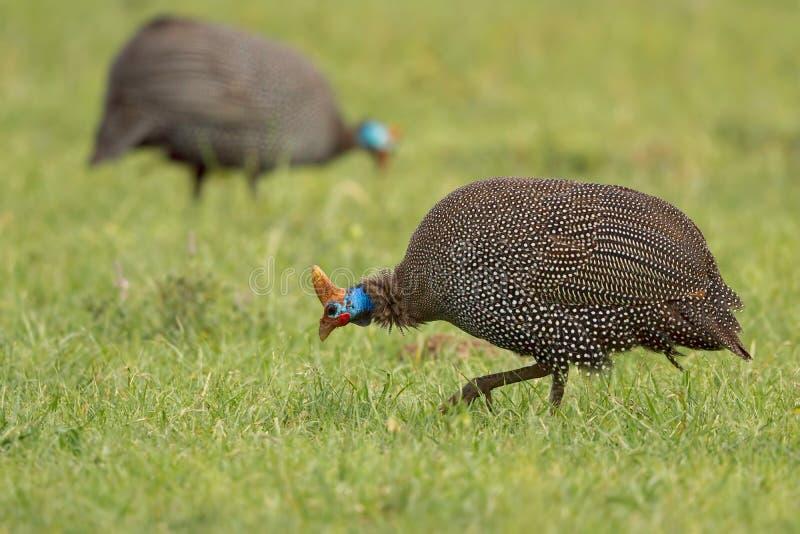 头盔状的Guineafowl -珠鸡属meleagris 库存图片