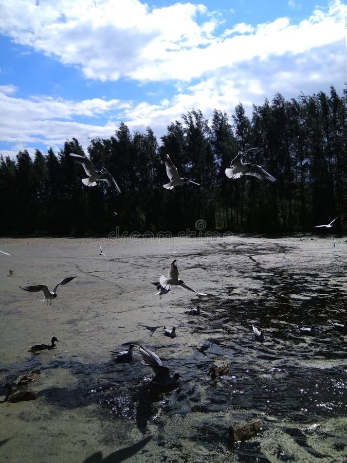 盘旋在水的海鸥反对天空蔚蓝和森林 免版税库存照片