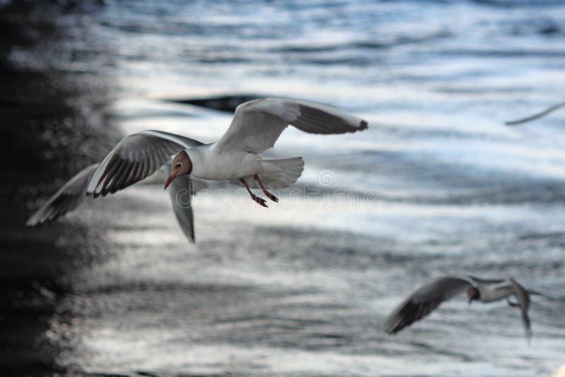盘旋在水的鸥 库存图片
