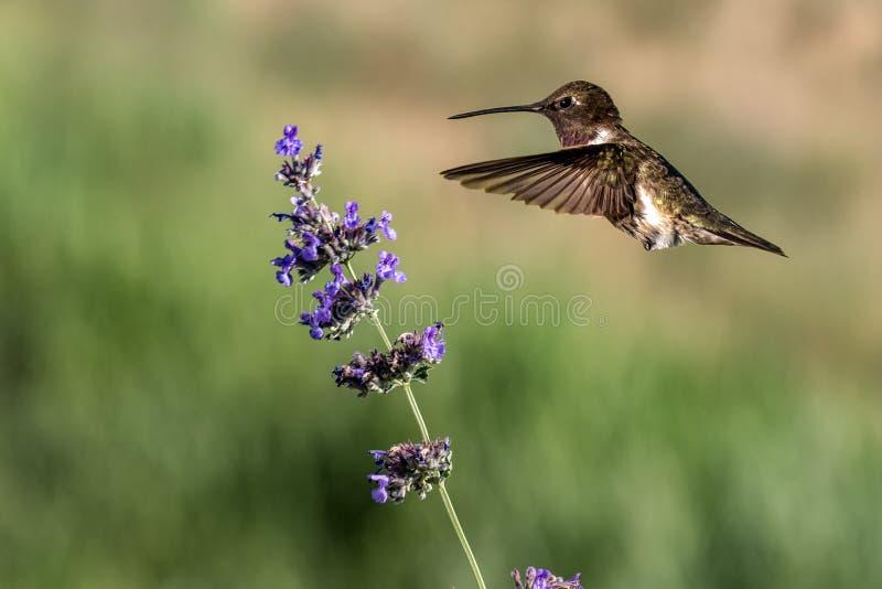 盘旋在淡紫色花附近的一只公红宝石红喉刺莺的蜂鸟 免版税库存照片