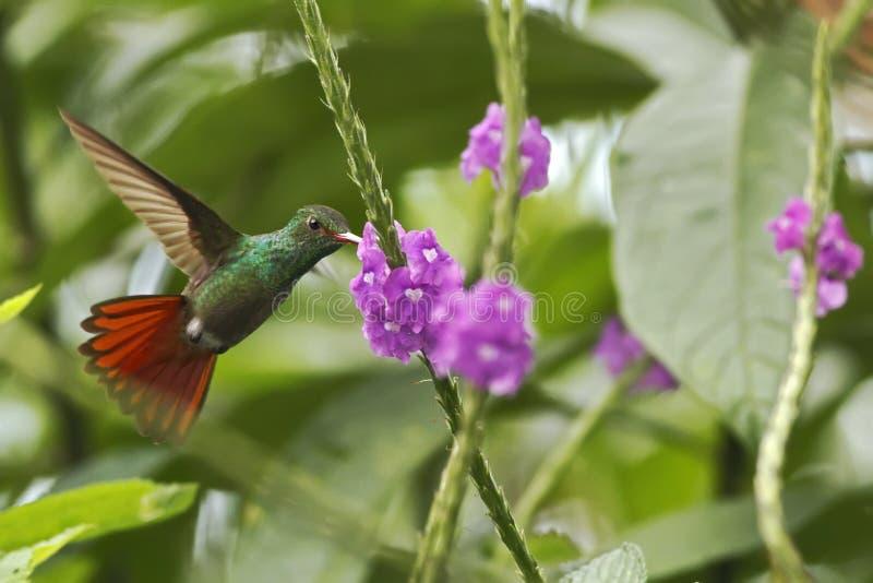 盘旋在紫罗兰色花旁边的红褐色被盯梢的蜂鸟在庭院,从山热带森林,哥斯达黎加,自然habita的鸟里 库存照片