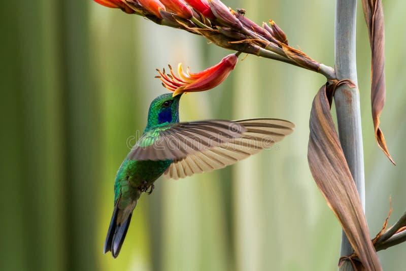 盘旋在红色和黄色花,在飞行中鸟旁边的绿色紫罗兰色耳朵,山热带森林,墨西哥,庭院 免版税库存照片