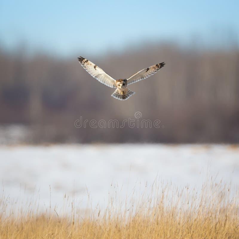 盘旋在草的猫头鹰 库存照片