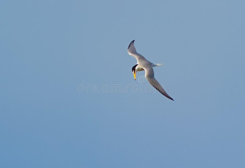 盘旋在飞行中反对蓝天的一只小的燕鸥 库存照片