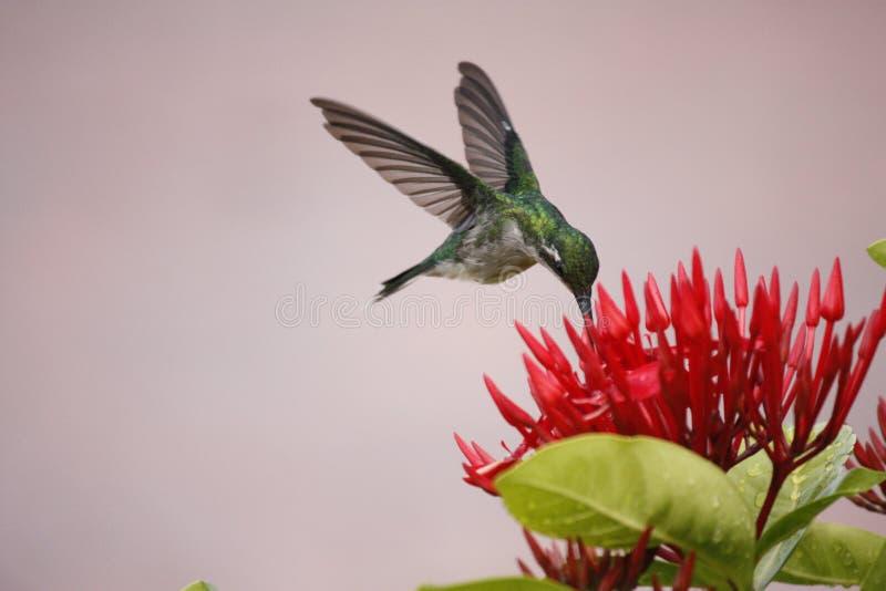 盘旋的蜂鸟 库存照片