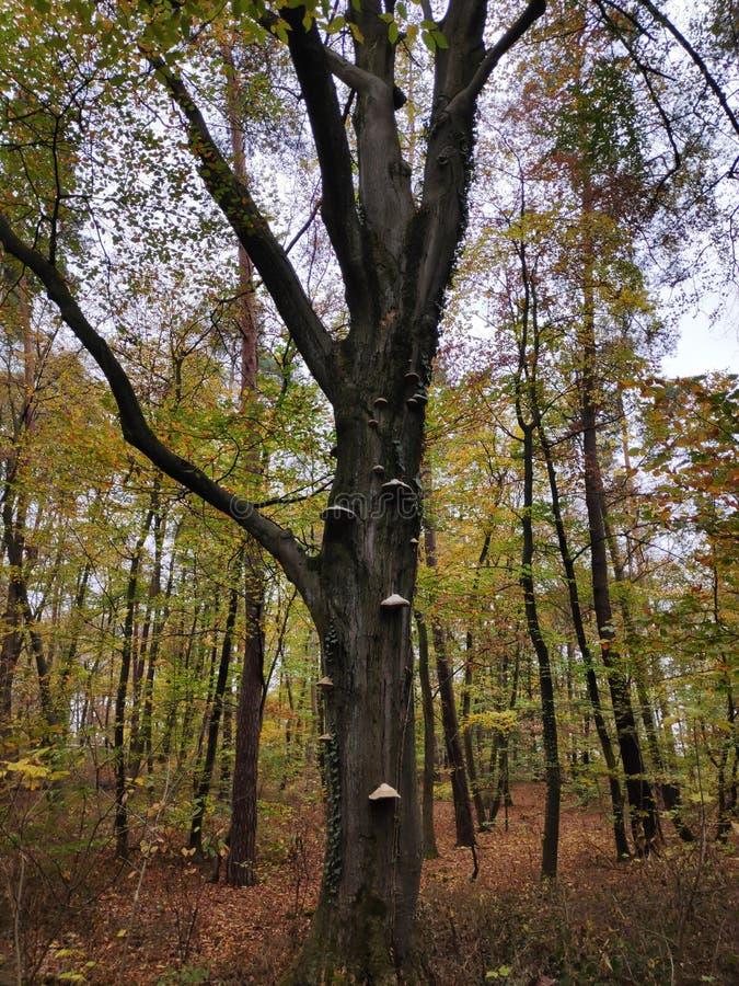 盛大树在与真菌的秋天 免版税库存图片