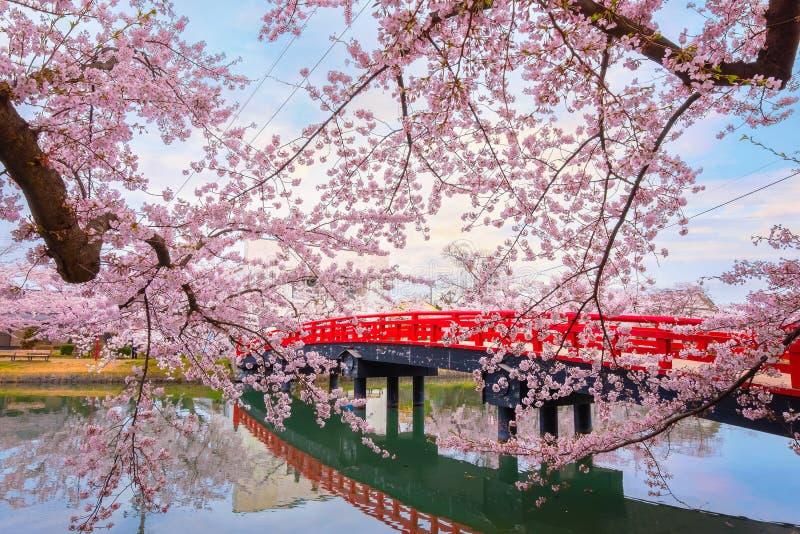 盛开佐仓-在弘前市公园的樱花在弘前市,日本 图库摄影