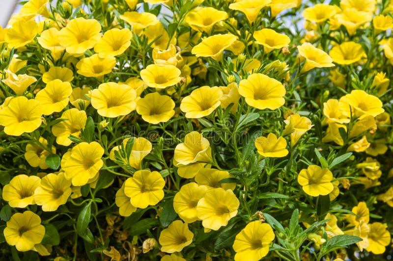 盛开的五颜六色的喇叭花植物 免版税库存图片
