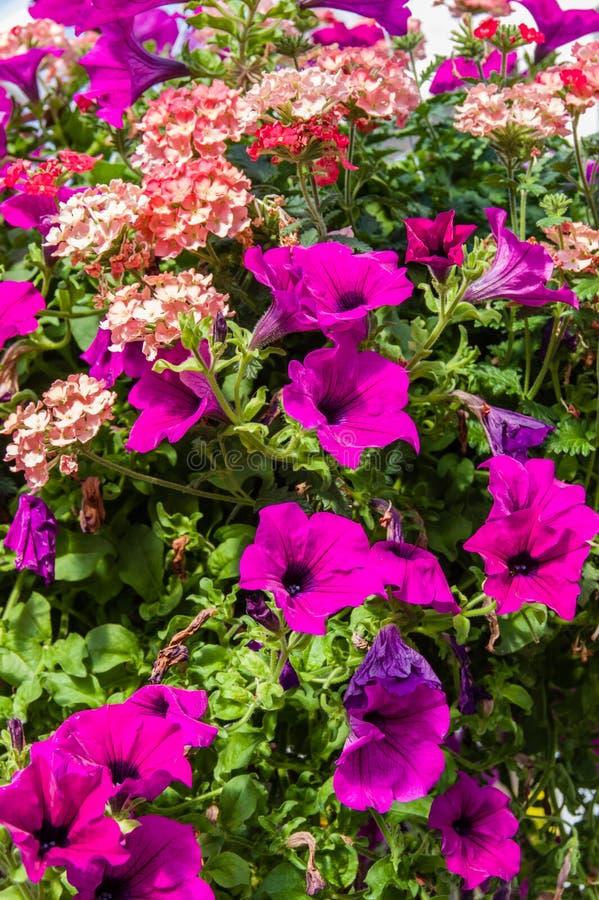 盛开的五颜六色的喇叭花植物 图库摄影