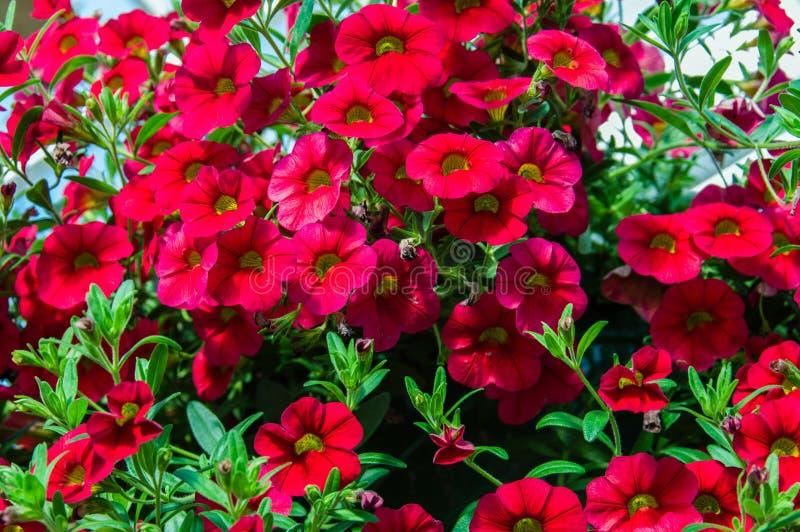 盛开的五颜六色的喇叭花植物 库存照片