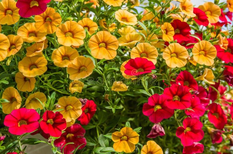 盛开的五颜六色的喇叭花植物 库存图片