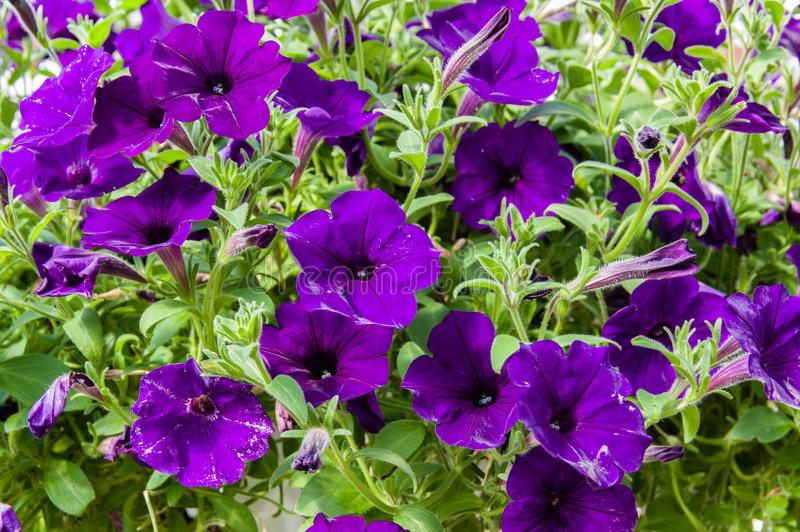 盛开的五颜六色的喇叭花植物 免版税图库摄影