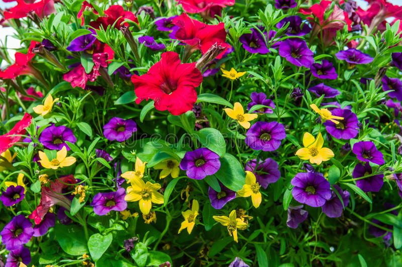 盛开的五颜六色的喇叭花植物 免版税库存照片