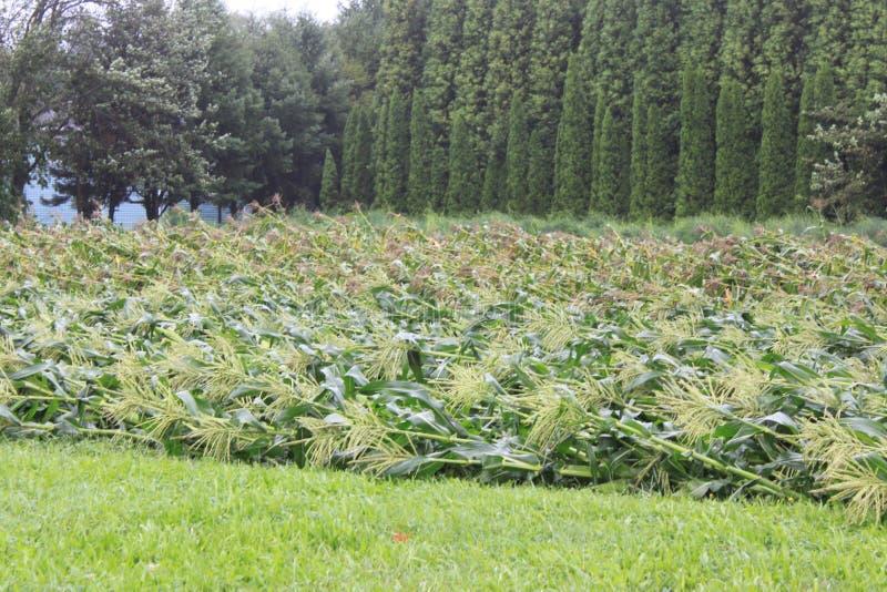 盛开的玉米 库存照片