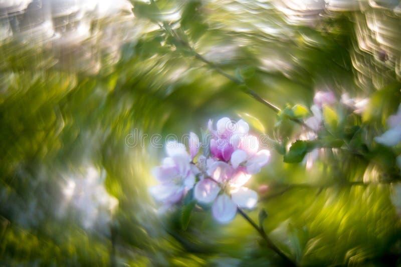 盛开的苹果树与极度旋流的Bokeh 免版税库存图片