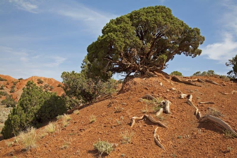 盛开的黏土杜松山红色岩石风 库存照片