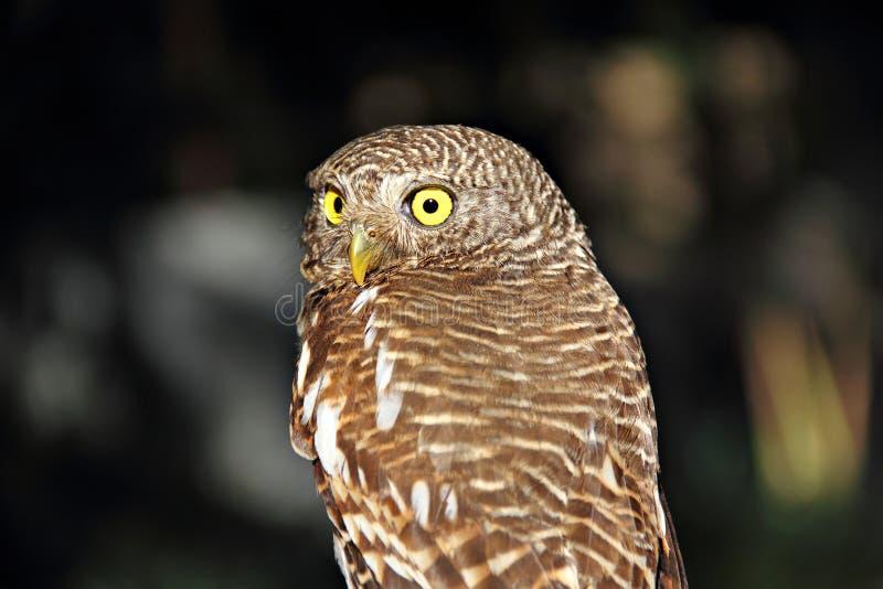 目光敏锐大猫头鹰被栖息围绕黄色 库存图片