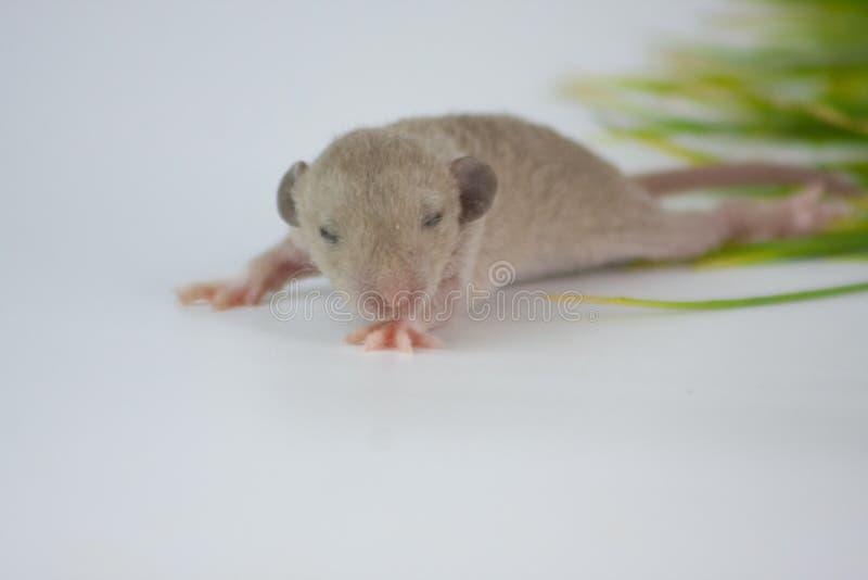 盲目性新出生的鼠的概念与眼睛的关闭了 库存照片