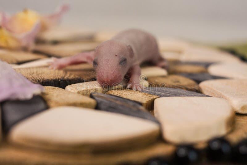 盲目性的概念 鼠崽未张开他的眼睛  免版税库存图片
