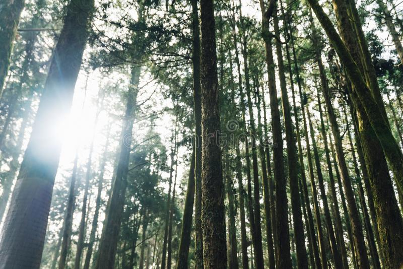 直接阳光通过松树在森林里在阿里山国家森林度假区,台湾 免版税库存照片